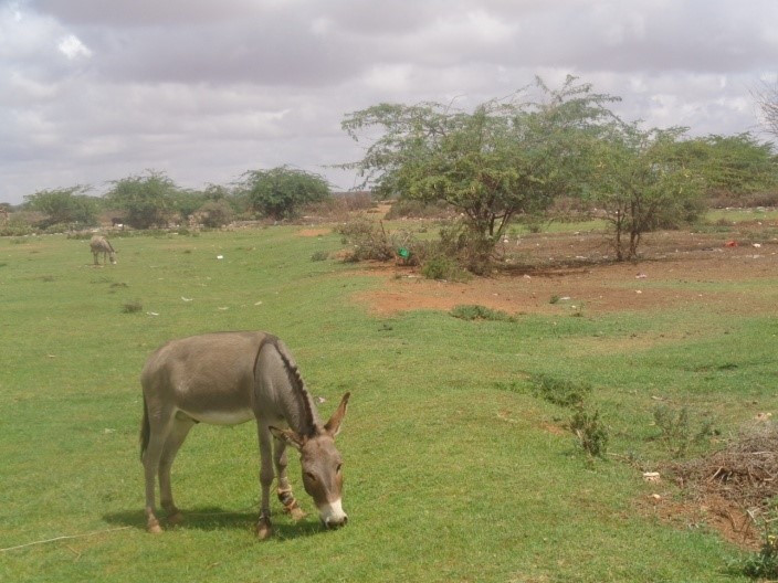 Some donkeys have access to pasture areas around the village of Qoolcaday