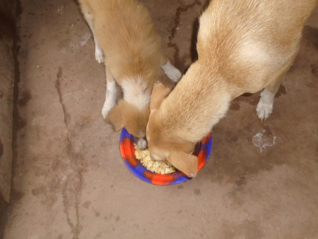 Two dogs get fed during CCA-SL's street dog feeding