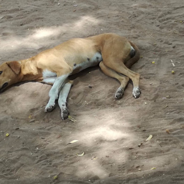 An owned dog in Juba, South Sudan