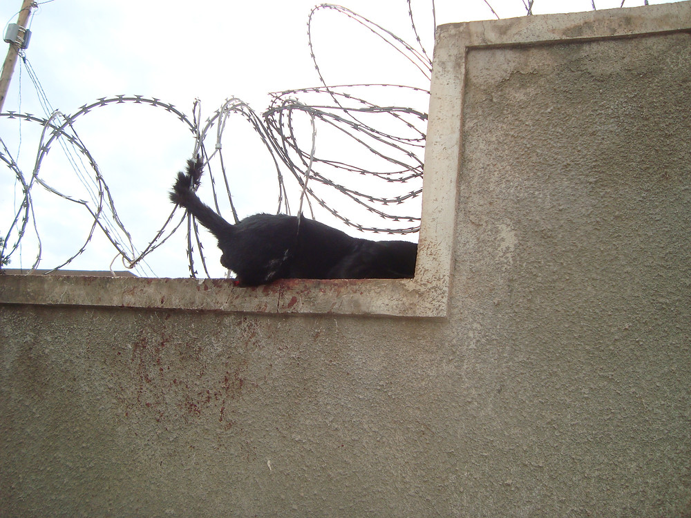Kitty's tail is caught in razor wire (October 2016)