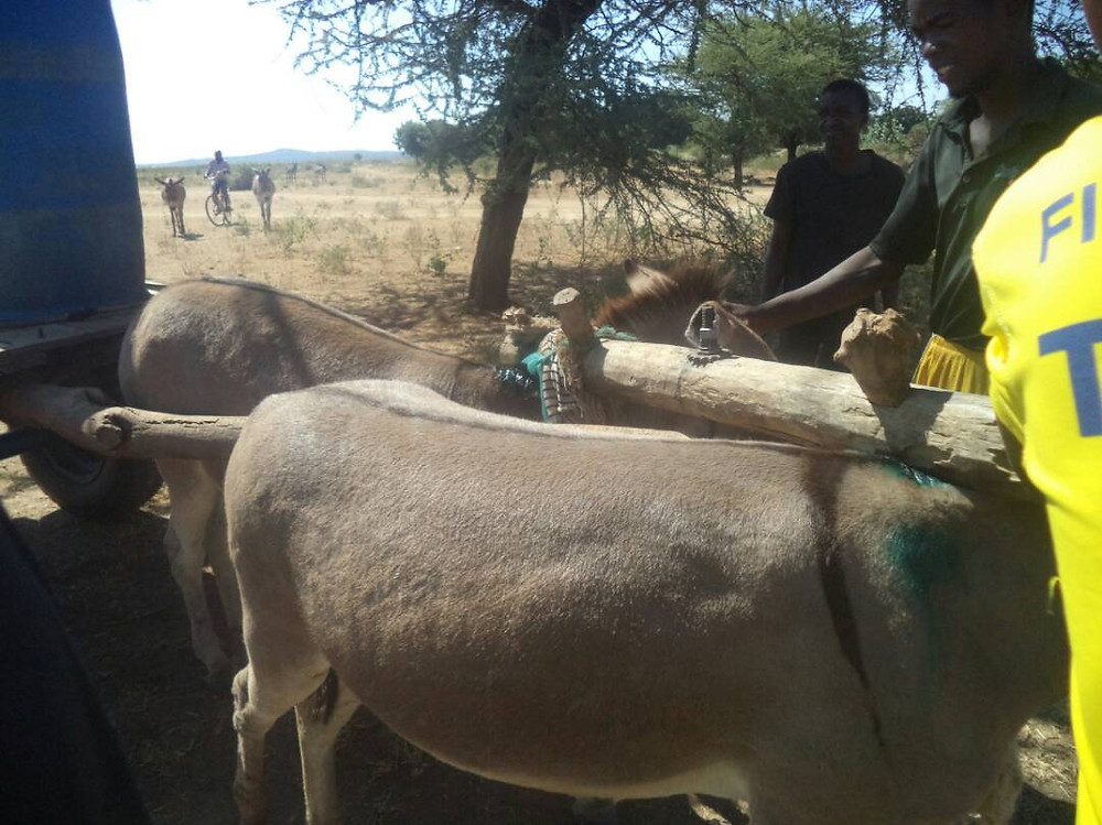 Donkeys carry heavy loads using harnesses that rub against their skin and create wounds.