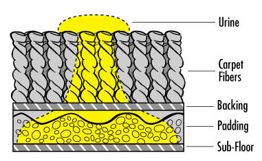 How urine spreads and sinks into carpet padding.