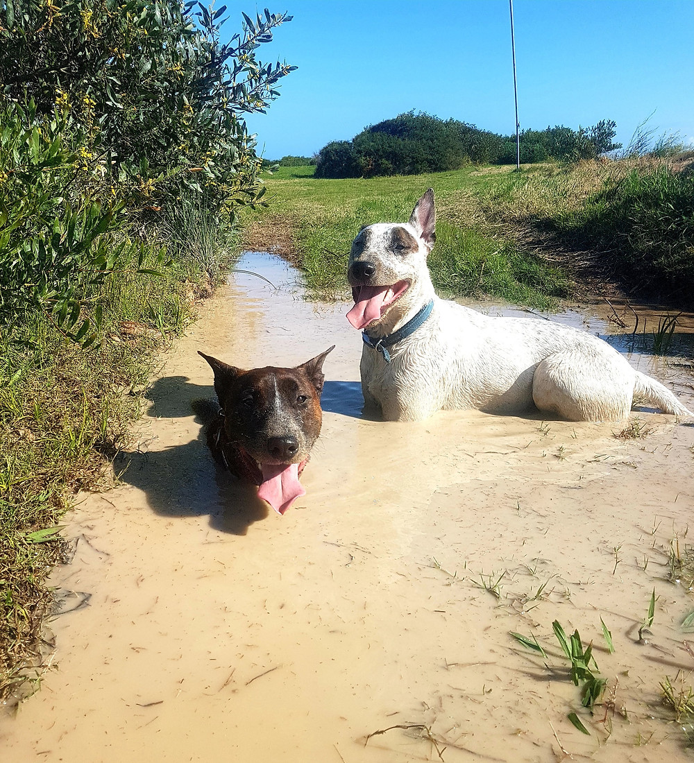 #dogs #crossbreed #mud #environmentalenrichment