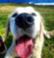 dogs dog walking dog training golden retriever