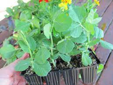 Pea Plants - Pack of 6 - Maria and Lydia Plants