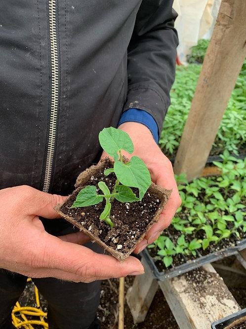 Sweet Pepper Transplants - Swooping Swallow Plants
