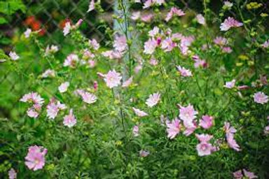 Pink Lavatera Flower Plants (Pack of 6) - Maria and Lydia Plants