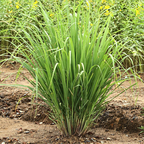 "Lemon Grass Plant (per 3.5"" pot) - Riverview Plants"