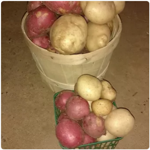 Potatoes - Red or White (5lb bag) - Maria and Lydia