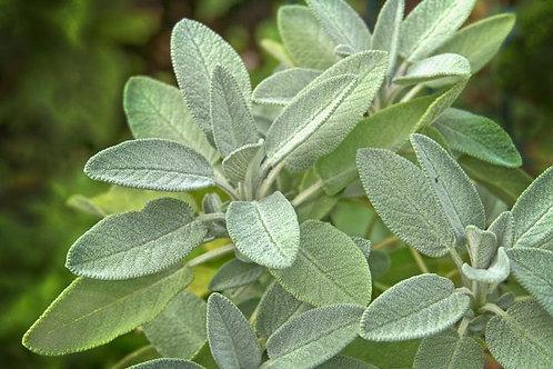 """Sage Plant (per 3.5"""" pot) - Riverview Plants"""