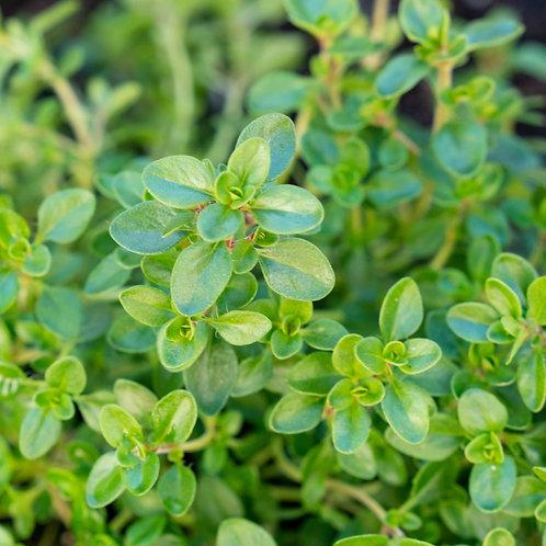 """Thyme Plant (per 3.5"""" pot) - Riverview Plants"""