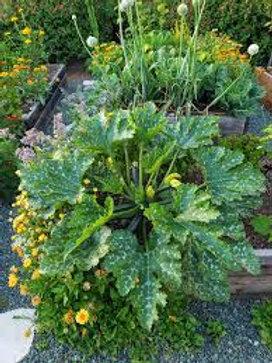 Zucchini Plants - 3 inch Pot - Maria and Lydia Plants