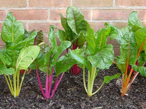 Chard Plants - Pack of 6 - Maria and Lydia Plants