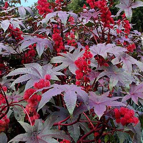 Ricinus Flower Plants (6 inch Pot) - Maria and Lydia Plants