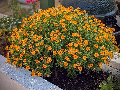"""Lemon and Orange Gems (per 3.5"""" pot) - Riverview Plants"""