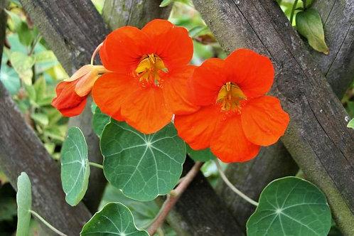"Nasturtium Plant (per 3.5"" pot) - Riverview Plants"