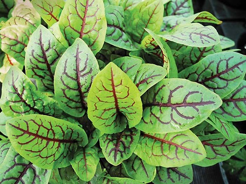 red vein sorrel (2 oz) - Riverview Herbs