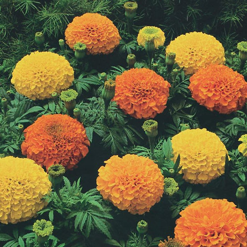 Marigold Flower Plants (Pack of 4) - Maria and Lydia Plants