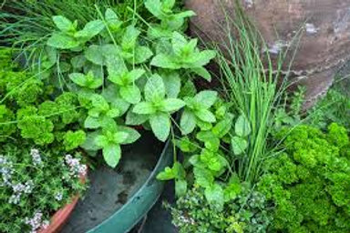Annual Herb Plants - 2 x 3 inch pot - Maria and Lydia Plants