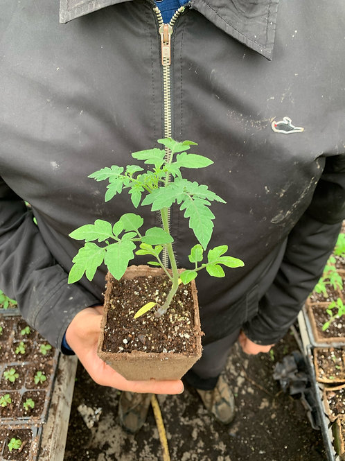 Tomato Transplants - Swooping Swallow Plants