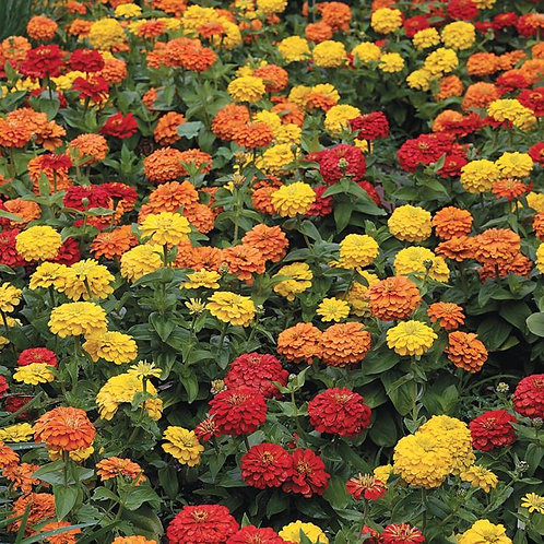 Zinnia Magellan Flower Plants (mix) - Pack of 4 - Maria and Lydia Plants