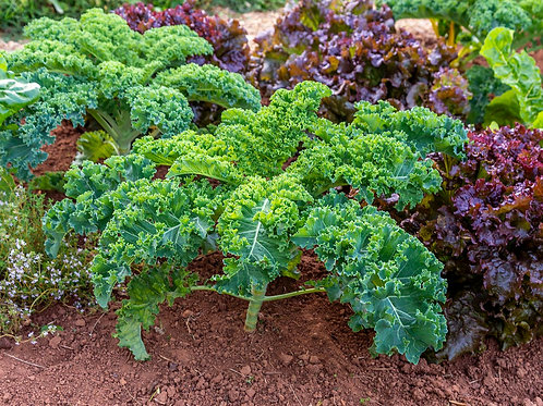 Kale Plants - Pack of 6 - Maria and Lydia Plants