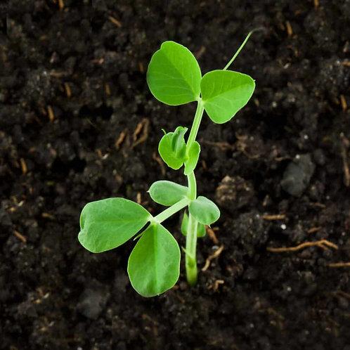 Pea Plants - Swooping Swallow Plants