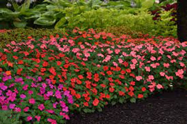 Impatiens Flower Plants (Pack of 6) - Maria and Lydia Plants