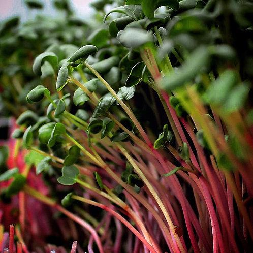 Triton Radish Microgreens (30g) - Russell Sprouts