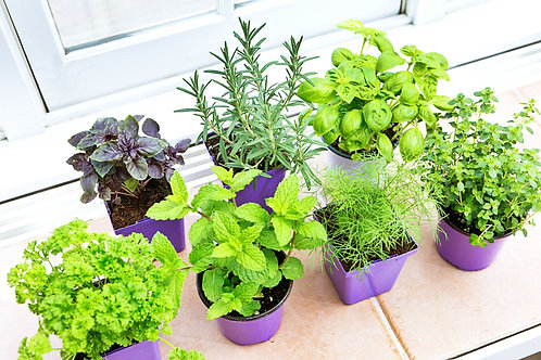 Perennial Herb Plants - 2 x 3 inch pot - Maria and Lydia Plants