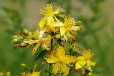 """St. John's Wort Plant (per 3.5"""" pot) - Riverview Plants"""