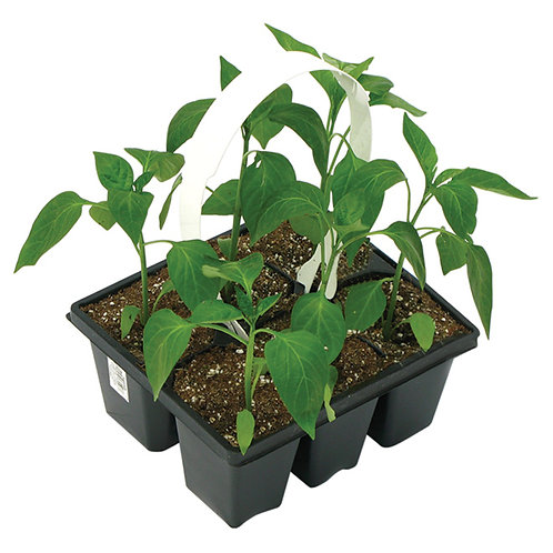 Tomato Plants - Pack of 6 - Maria and Lydia Plants