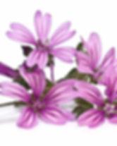 fiori-malva.jpg