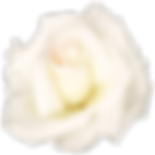 27574-4-white-rose-transparent-image.png