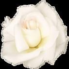 27574-4-white-rose-transparent-image.png