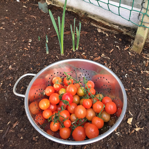 tomatoes from Keder House.JPG