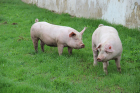 Наші свині