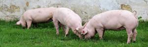 Наші свині на випасі