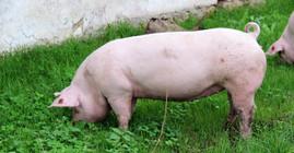 Ремонтна свинка