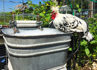 Bathing Beauties – How to Wash Your Chicken
