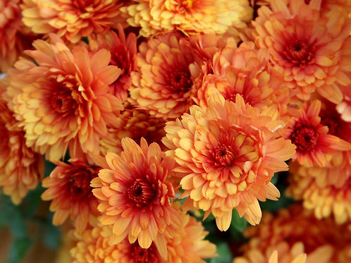 Rust Fall Mums