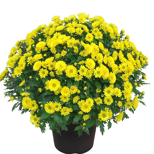 Yellow Fall Mum
