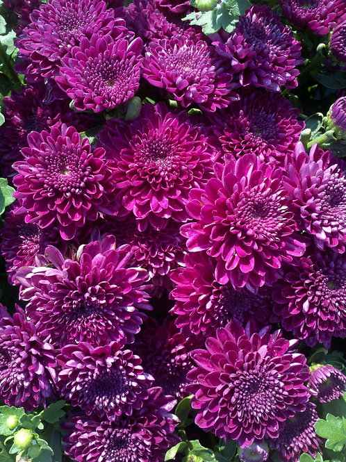 Purple Fall Mums