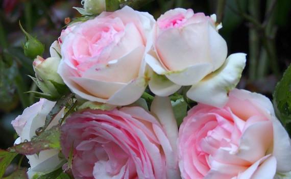 Roses 1000.jpg