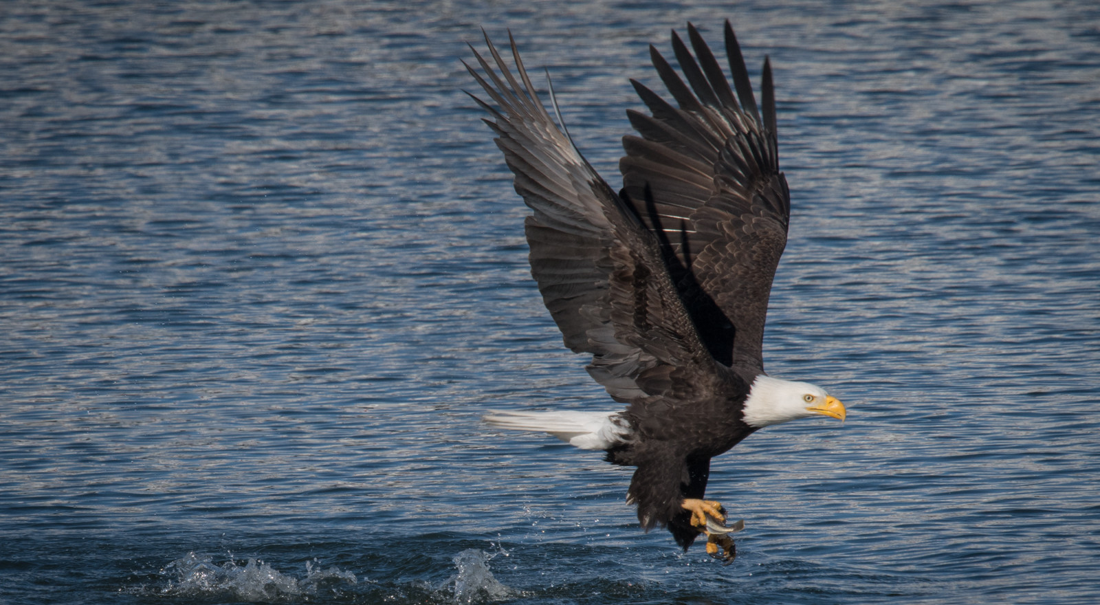 After catching the fish, the eagle begins to rise up from the river with the fish in one talon. As I recall, he/she took the fish to the nest for the meal. The female is much larger than her mate, but without seeing both birds together, I am uncertain which one has caught the fish.