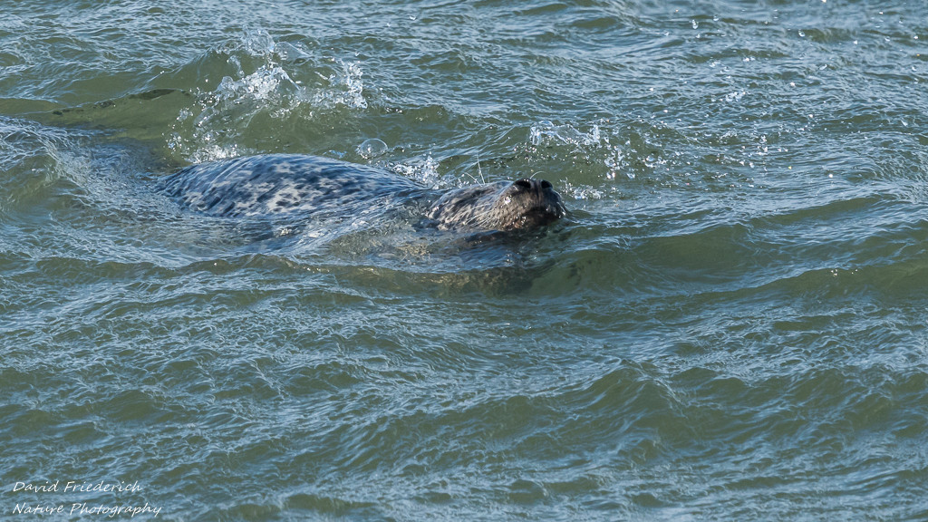 Harbour seal in Canoe Pass during rough weather.