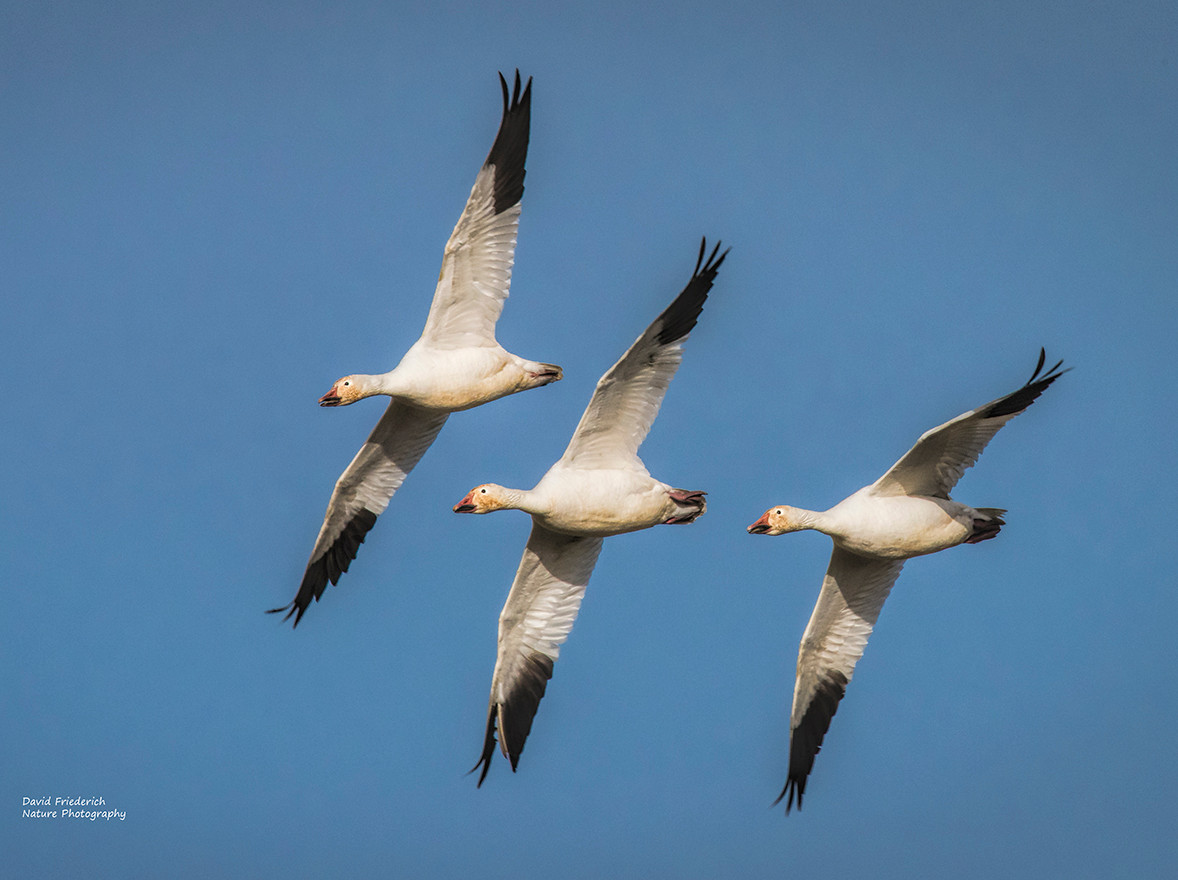 Three snow geese banking as they soar in to a landing