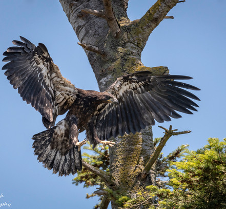 Another chick decides to land in a branch in the nesting tree, but just below the nest.  All the chicks seem quite proficient at flying at this early stage, probably prompted and motivated by each other.