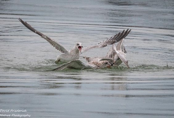 Not so clear as the other shots, but this one shows what happens when two birds find the fish at the same time.
