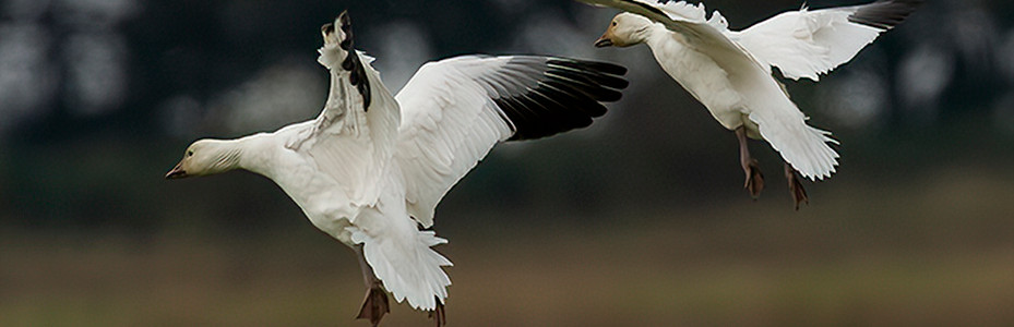 A pair of snow geese landing in a field on Westham Island